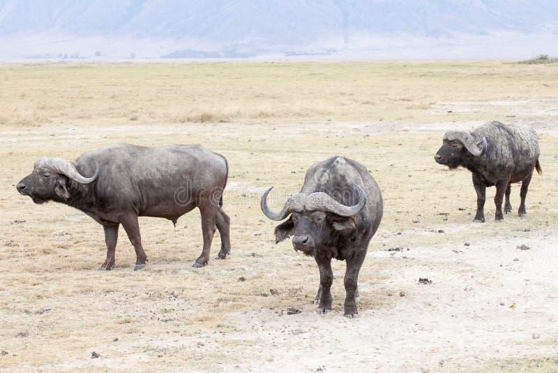 Il bufalo africano o bufalo del capo fotografia stock