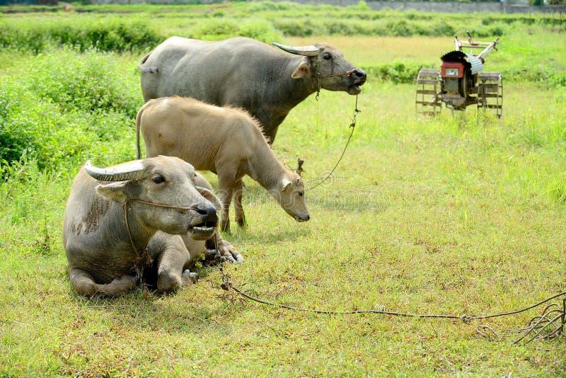 Il bufalo asiatico sta interrompendo invece di un nuovo del carretto a mano fotografia stock