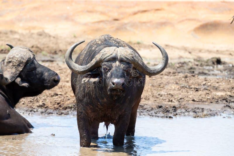 Il bufalo del Capo si raffredda in uno stagno fangoso in una giornata calda immagine stock