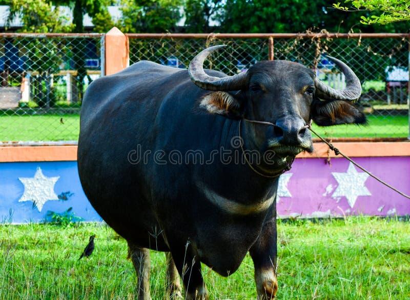 Il bufalo tailandese sta mangiando l'erba verde sul archivata immagini stock