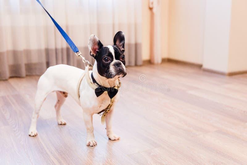 Il bulldog francese in bianco e nero sta in una stanza fotografia stock libera da diritti
