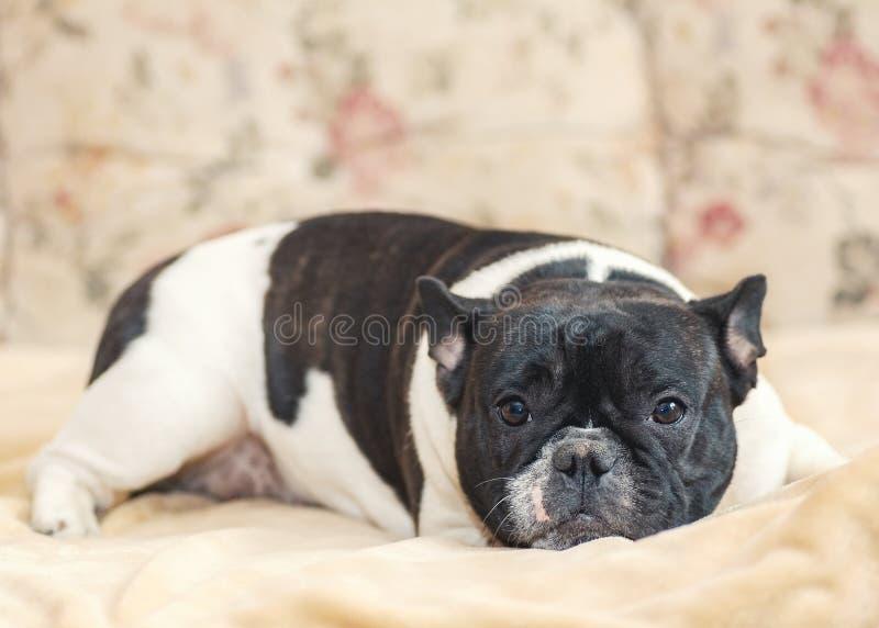Il bulldog francese di un colore in bianco e nero si trova e meditatamente guarda fotografia stock