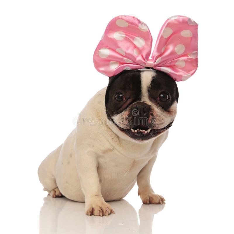 Il bulldog francese messo è soddisfatto del suo nuovo accessorio fotografia stock libera da diritti