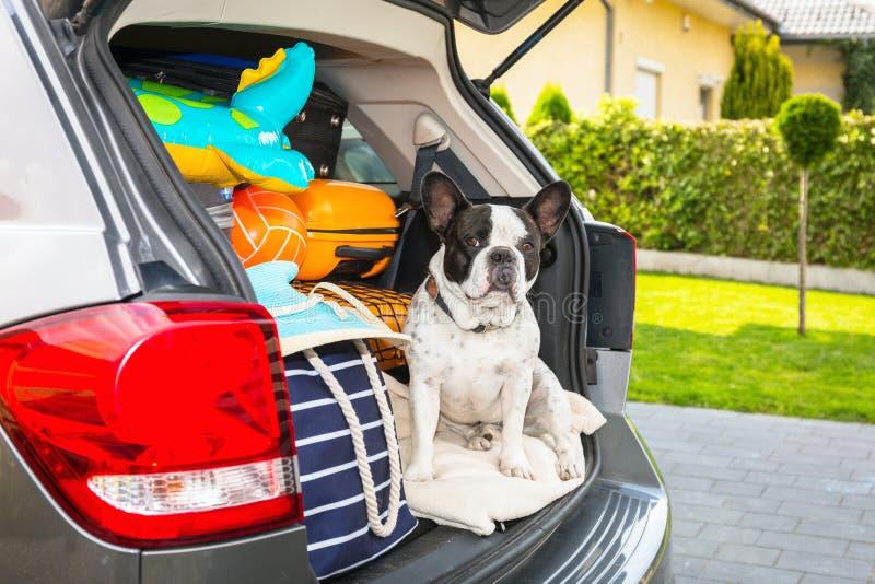 Il bulldog francese siede nel bagagliaio dell'auto con i bagagli pronti per andare in vacanza immagini stock libere da diritti