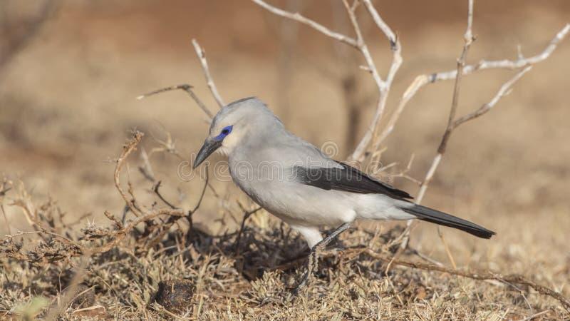 Il Bush-corvo di Stresemann nel campo fotografie stock