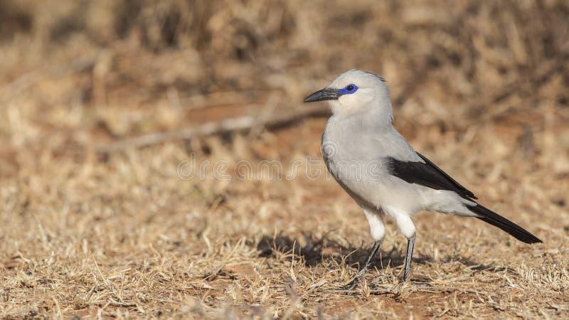 Il Bush-corvo di Stresemann posa fotografia stock