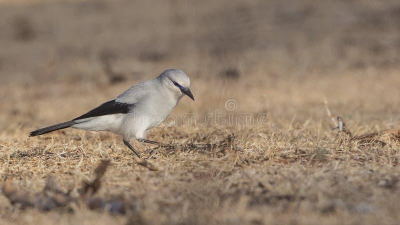 Il Bush-corvo di Stresemann in prato fotografia stock