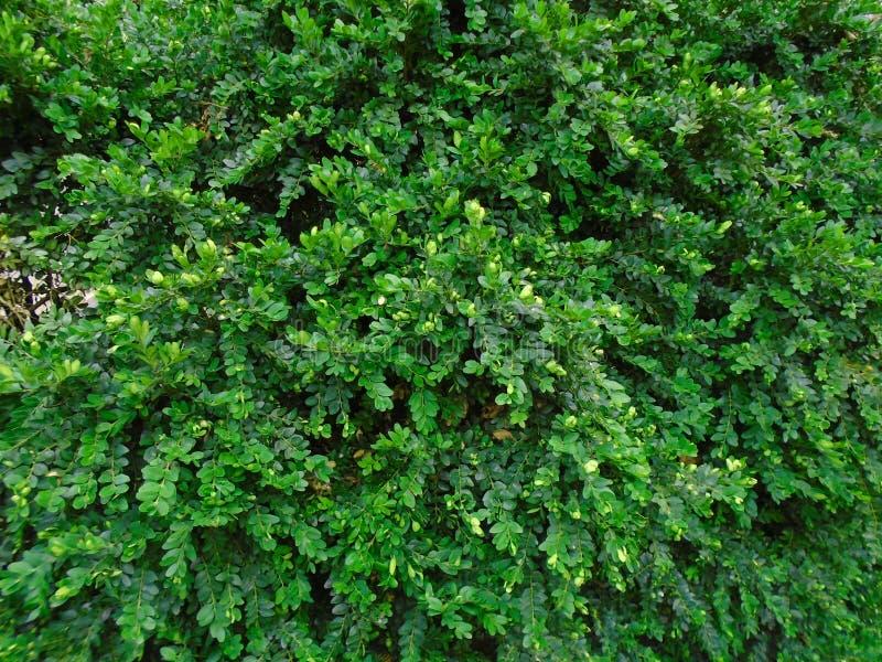Il Buxus massiccio e vitale Sempervirens verdi freschi del Buxus del buxus fotografie stock libere da diritti