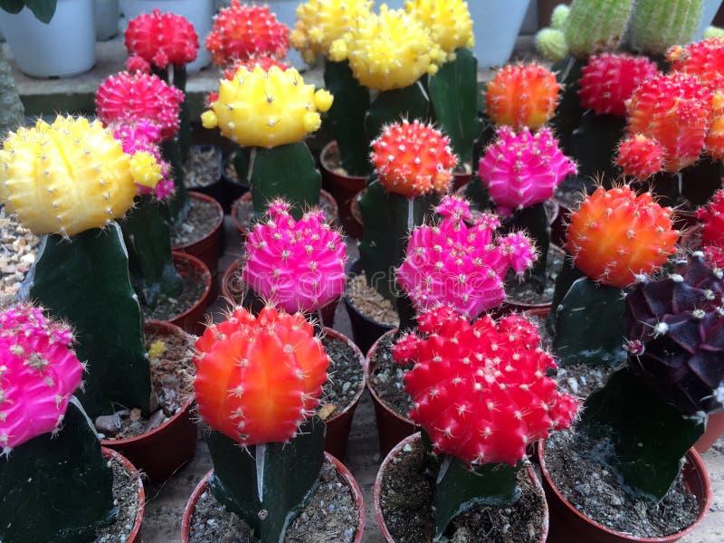 Il cactus immagine stock libera da diritti