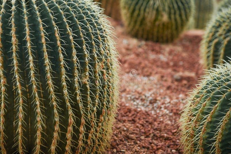 Il cactus che ha brillato immagine stock libera da diritti