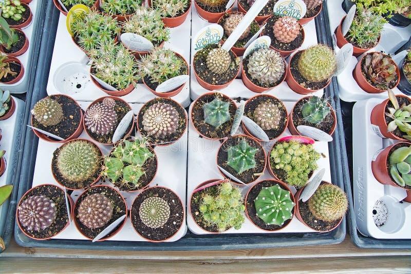 Il cactus fiorisce l'antenna fotografia stock