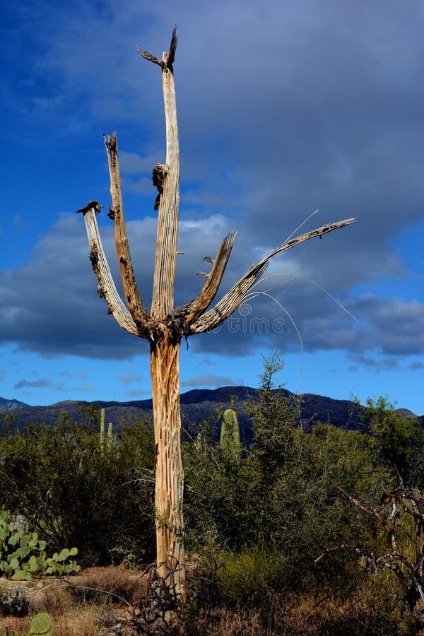 Il cactus morto del saguaro sta alto immagine stock