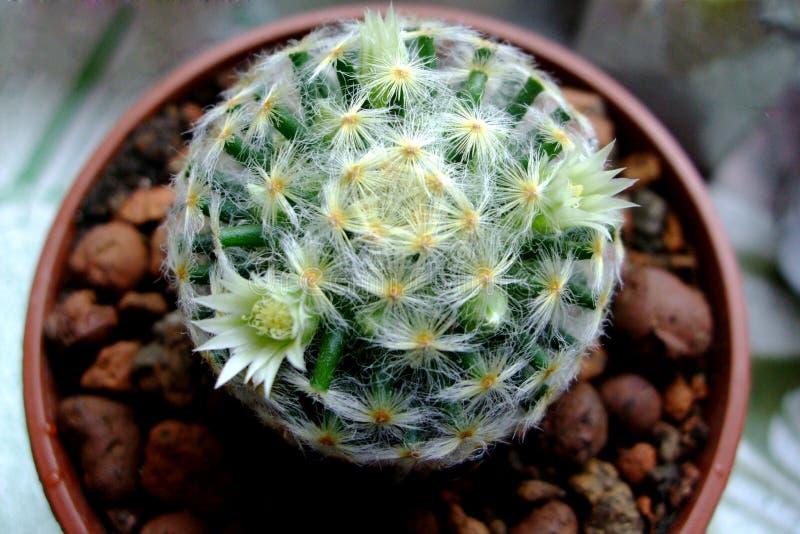 Il cactus rotondo sboccerà bianco a casa in un vaso lucidare fotografie stock libere da diritti