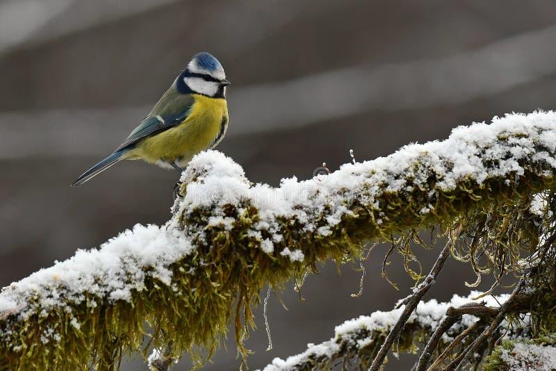 Il caeruleus del Parus della cinciarella si siede su un ramo nevoso e muscoso immagini stock libere da diritti