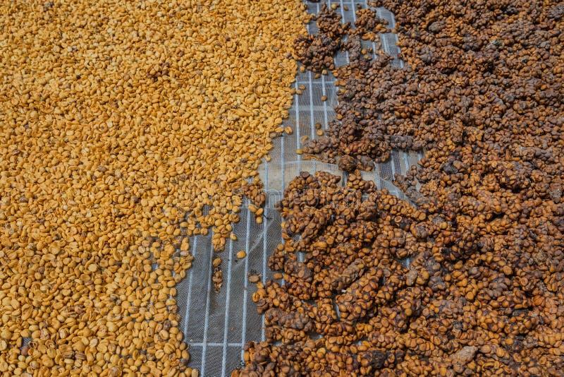 Il caffè di Luwak, i chicchi di caffè sporchi, luwak di Kopi è caffè che include le ciliege parziale digerite del caffè alimentar fotografia stock