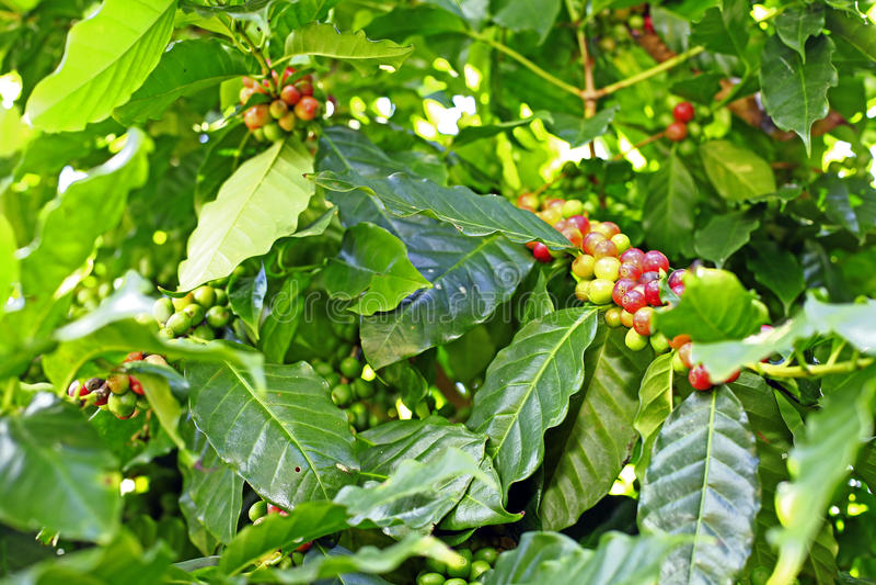 Il caffè pianta l'albero immagini stock