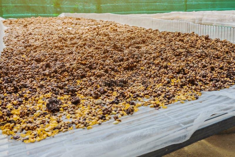 Il caff? di Luwak, i chicchi di caff? sporchi, luwak di Kopi ? caff? che include le ciliege parziale digerite del caff? alimentar fotografia stock libera da diritti