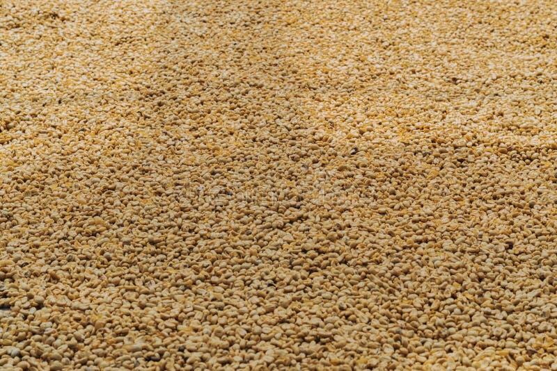 Il caff? di Luwak, i chicchi di caff? sporchi, luwak di Kopi ? caff? che include le ciliege parziale digerite del caff? alimentar immagini stock