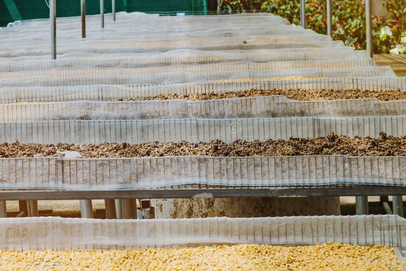 Il caff? di Luwak, i chicchi di caff? sporchi, luwak di Kopi ? caff? che include le ciliege parziale digerite del caff? alimentar fotografie stock