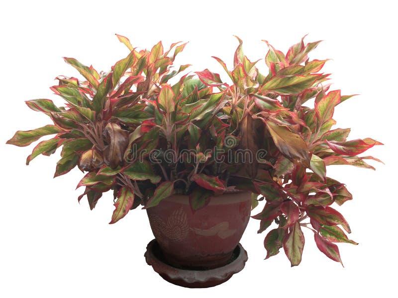 Il Caladium è regina della pianta frondosa in vaso fotografia stock libera da diritti