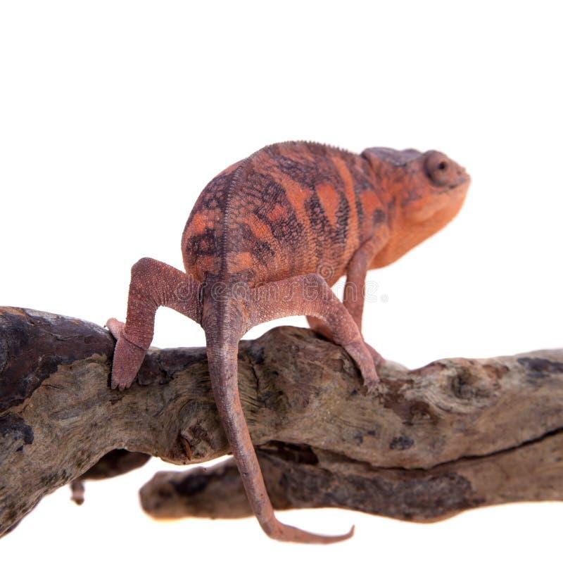 Il camaleonte della pantera, pardalis di Furcifer su bianco immagine stock