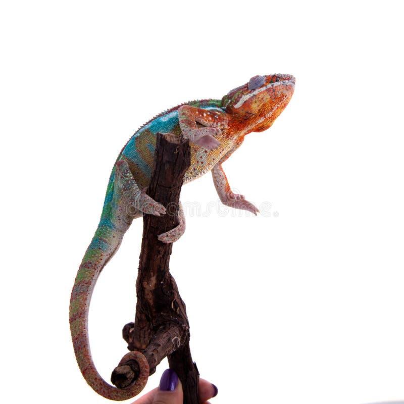 Il camaleonte della pantera, pardalis di Furcifer su bianco immagine stock libera da diritti