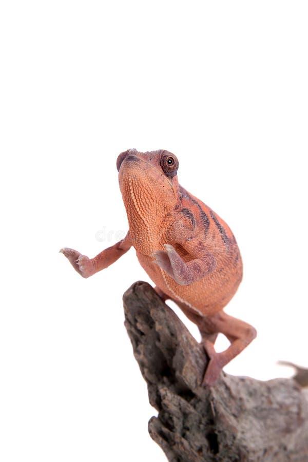 Il camaleonte della pantera, pardalis di Furcifer su bianco fotografie stock libere da diritti
