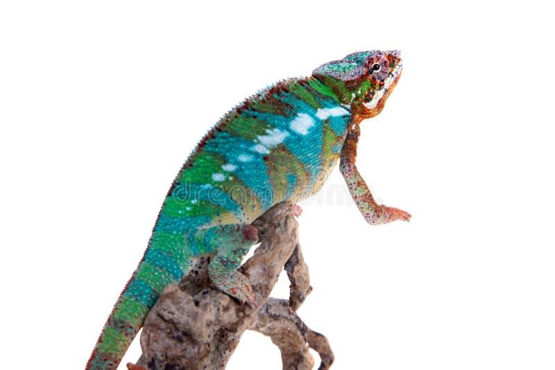 Il camaleonte della pantera, pardalis di Furcifer su bianco fotografia stock libera da diritti