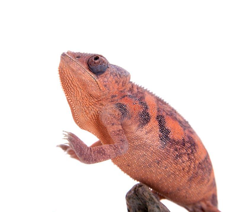 Il camaleonte della pantera, pardalis di Furcifer su bianco immagini stock libere da diritti