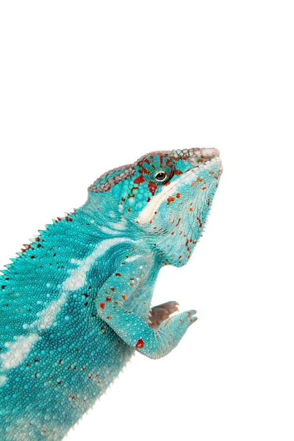 Il camaleonte della pantera, pardalis di Furcifer su bianco fotografia stock