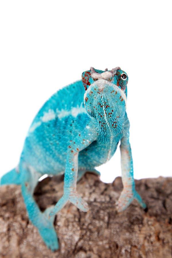 Il camaleonte della pantera, pardalis di Furcifer su bianco fotografie stock