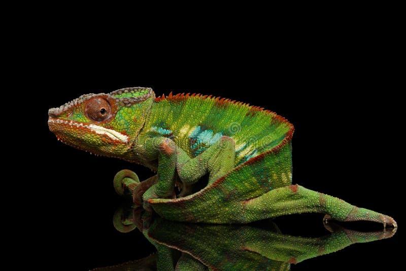 Il camaleonte divertente della pantera, rettile tiene sulla sua coda, il nero isolato fotografia stock libera da diritti