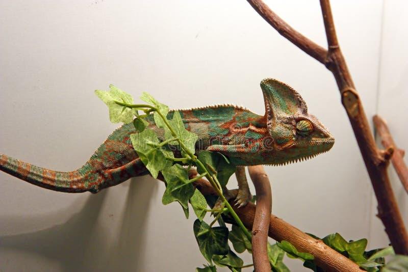 Il camaleonte velato fotografie stock libere da diritti