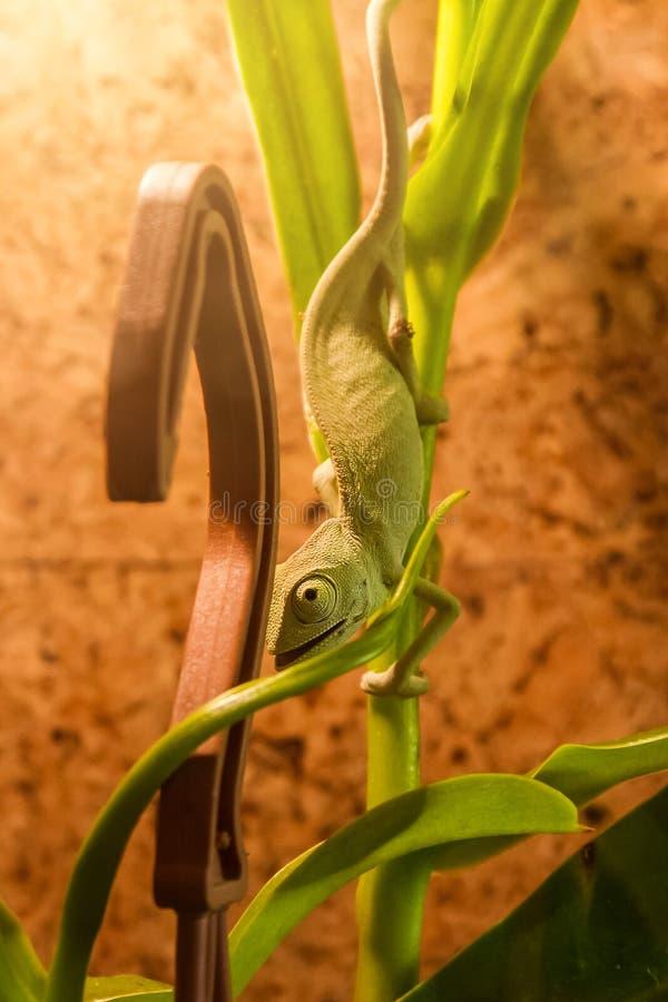 Il camaleonte verde si è congelato su una bocca andante del downwith del ramo di bambù aperta immagini stock