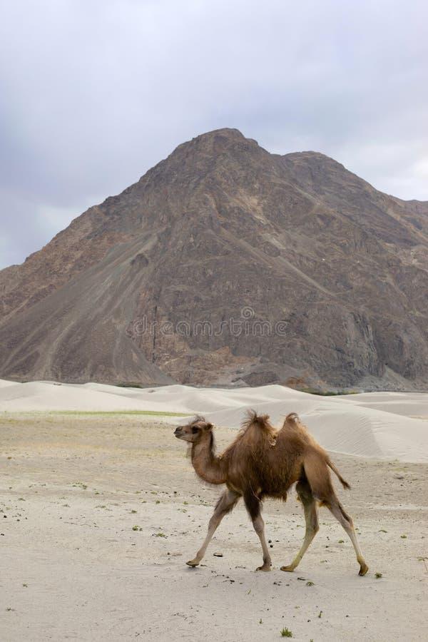 Il cammello battriano, bactrianus del Camelus, è un grande, nativo uguale-piantato degli ungulati alle steppe dell'Asia centrale, immagini stock libere da diritti