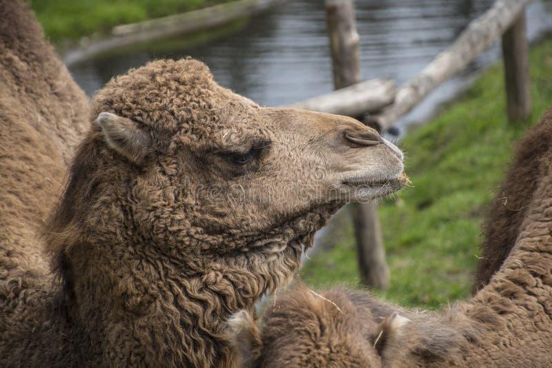 Il cammello battriano, bactrianus del Camelus è un grande, nativo uguale-piantato degli ungulati alle steppe dell'Asia centrale fotografia stock libera da diritti