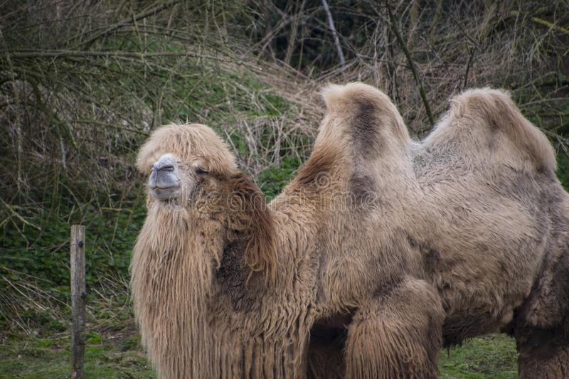 Il cammello battriano, bactrianus del Camelus è un grande, nativo uguale-piantato degli ungulati alle steppe dell'Asia centrale fotografia stock