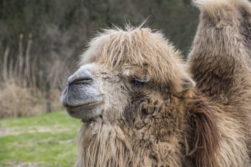 Il cammello battriano, bactrianus del Camelus è un grande, nativo uguale-piantato degli ungulati alle steppe dell'Asia centrale immagini stock