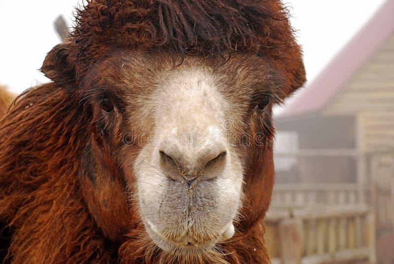 Il cammello battriano, bactrianus del Camelus, ritratto, animali nello zoo Giorno nebbioso fotografia stock libera da diritti