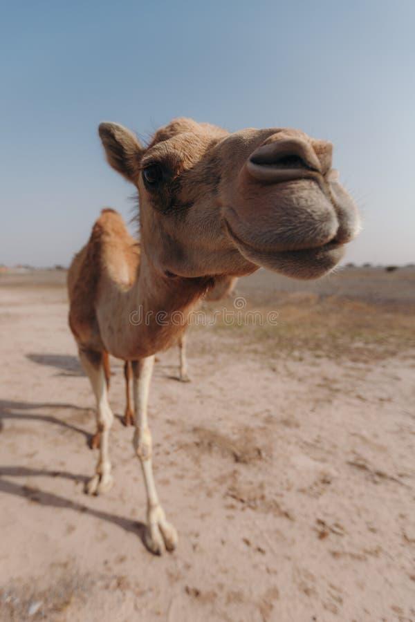 Il cammello sta nel deserto nell'ambito dei raggi del sole nel Dubai fotografia stock