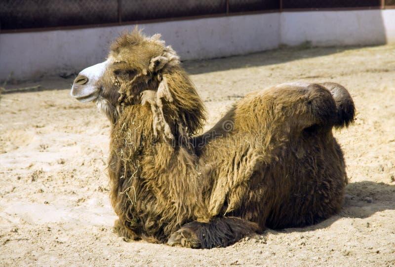 Il cammello un mammifero della steppa del deserto è un simbolo della lana della nave del deserto della gobba le narici del rumina immagini stock