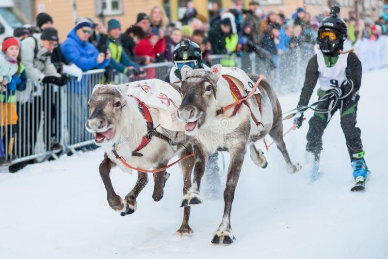 Il campionato di corsa della renna - Tromso 11 Februar 2018 - Attrazione turistica - sport di sami fotografie stock libere da diritti