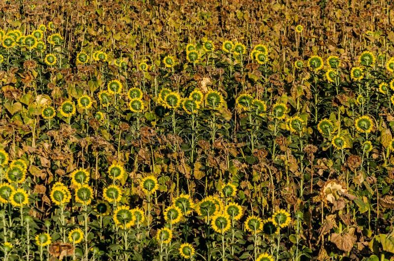 Il campo dei girasoli secchi e viventi ha sparpagliato fotografia stock
