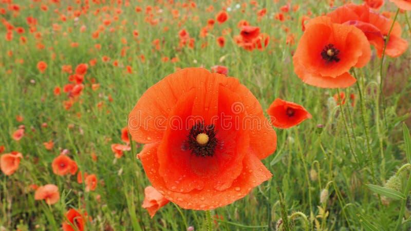 Il campo dei papaveri delicati dei fiori rossi con l'ape fotografia stock libera da diritti