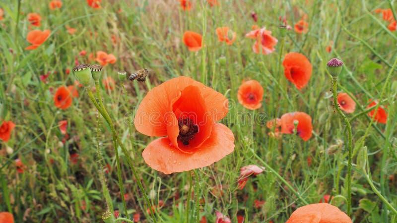 Il campo dei papaveri delicati dei fiori rossi nelle goccioline di acqua dopo pioggia fotografia stock libera da diritti