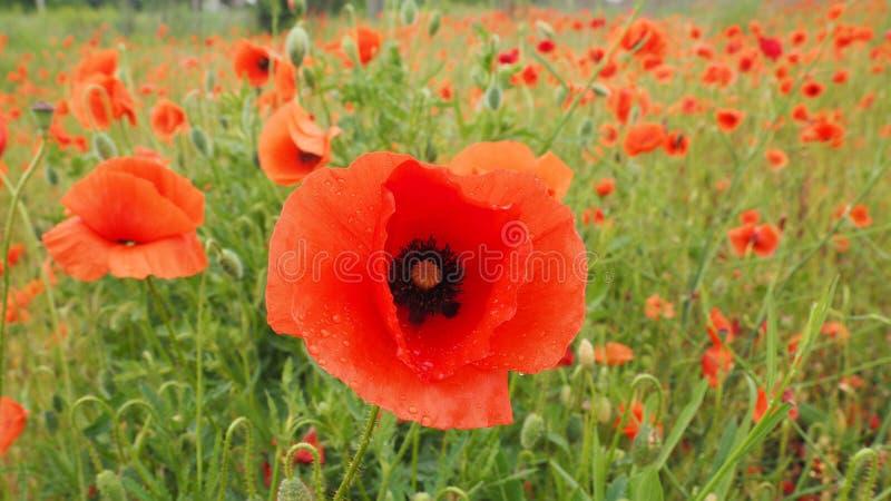 Il campo dei papaveri delicati dei fiori rossi nelle goccioline di acqua dopo pioggia immagine stock libera da diritti