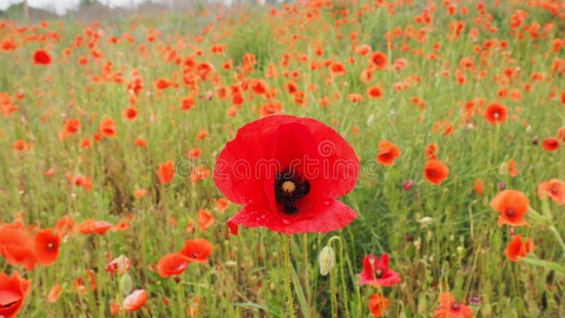 Il campo dei papaveri delicati dei fiori rossi nelle goccioline di acqua dopo pioggia immagini stock libere da diritti