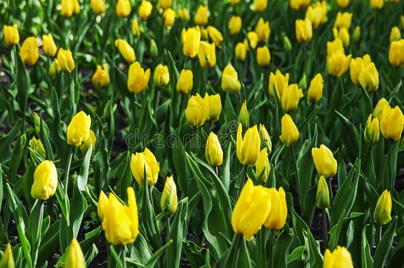 Il campo dei tulipani di giallo del germoglio immagini stock libere da diritti