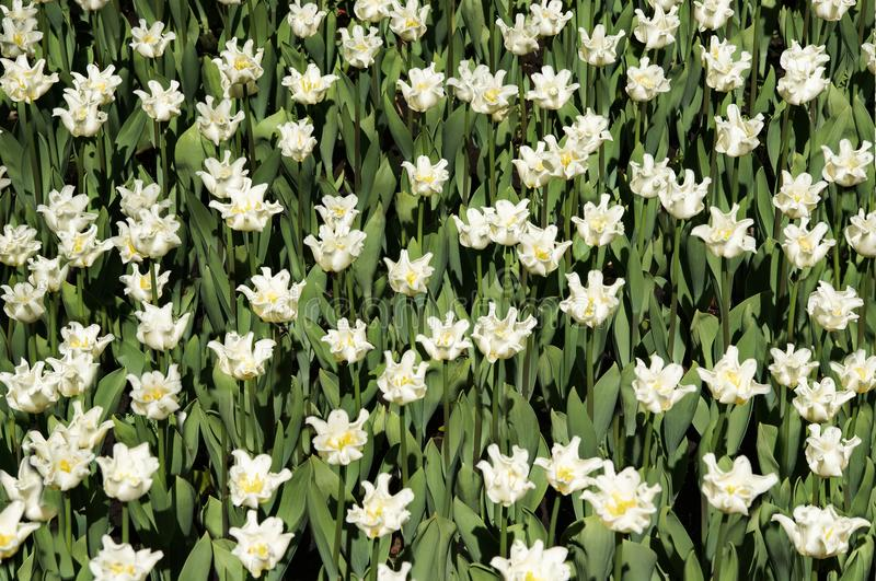 Il campo dei tulipani ricci bianchi fotografie stock