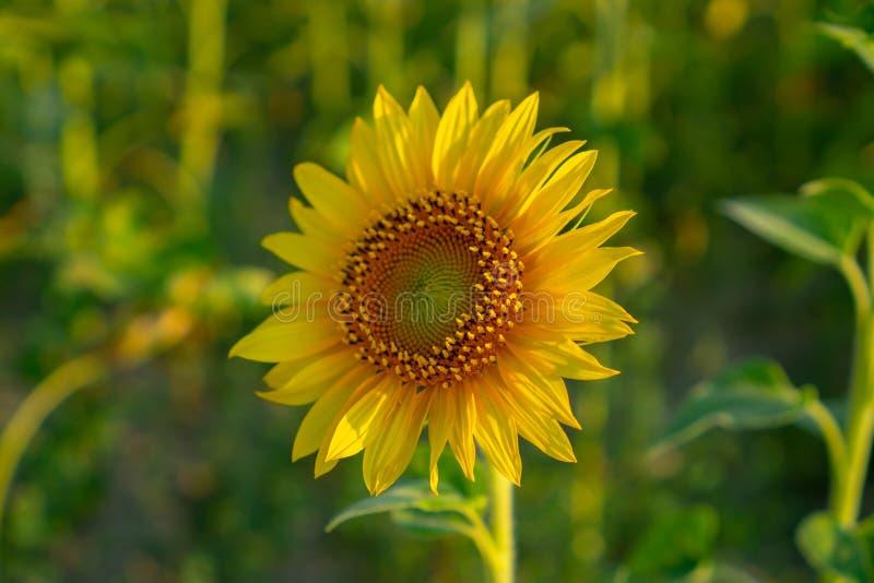 Il campo del fiore del girasole in un giardino, i petali gialli del capolino si è sparso su e fiorendo sopra le foglie verdi fotografia stock libera da diritti